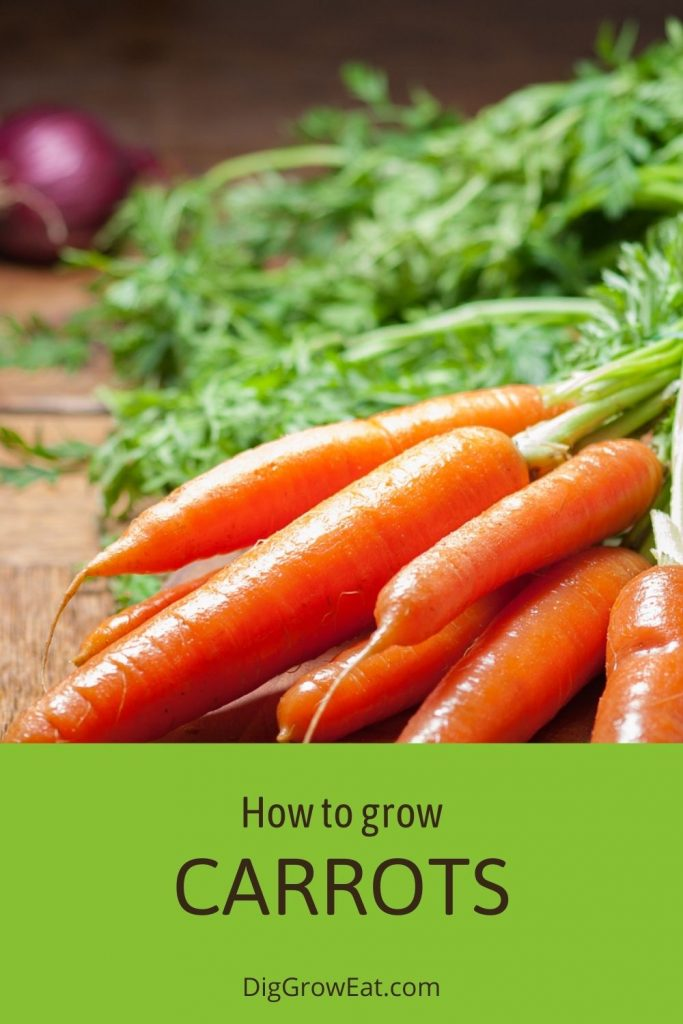 A bunch of fresh carrots - how to grow carrots
