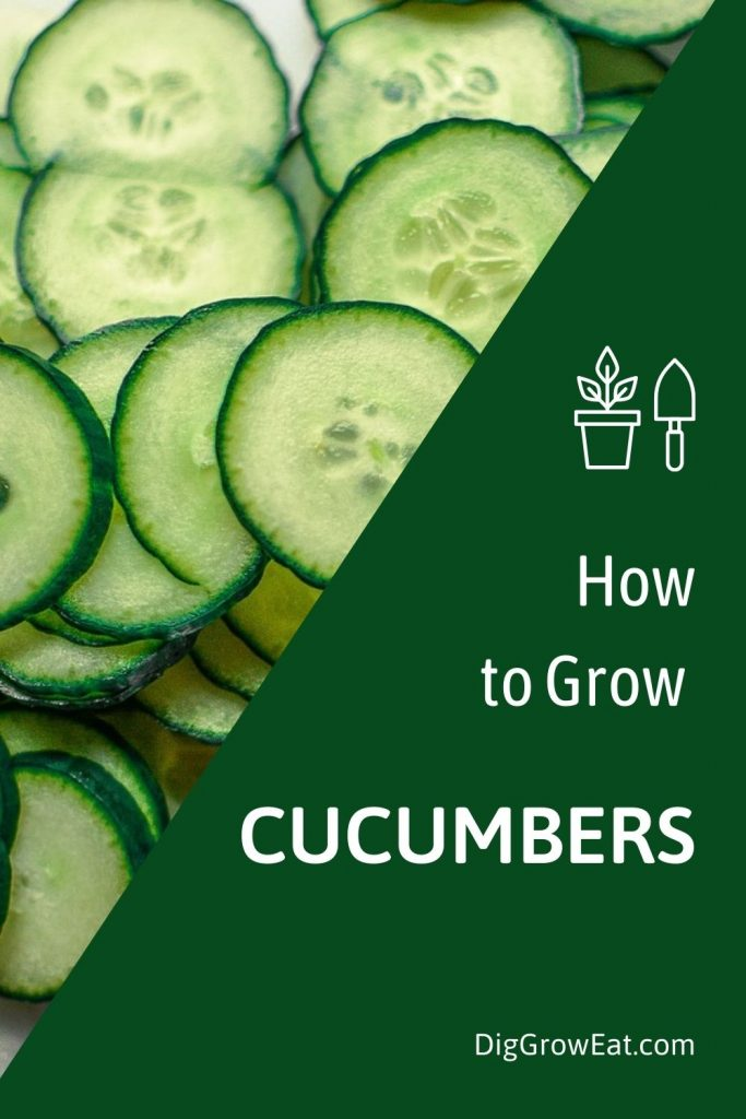 Slices of fresh cucumbers - how to grow cucumbers