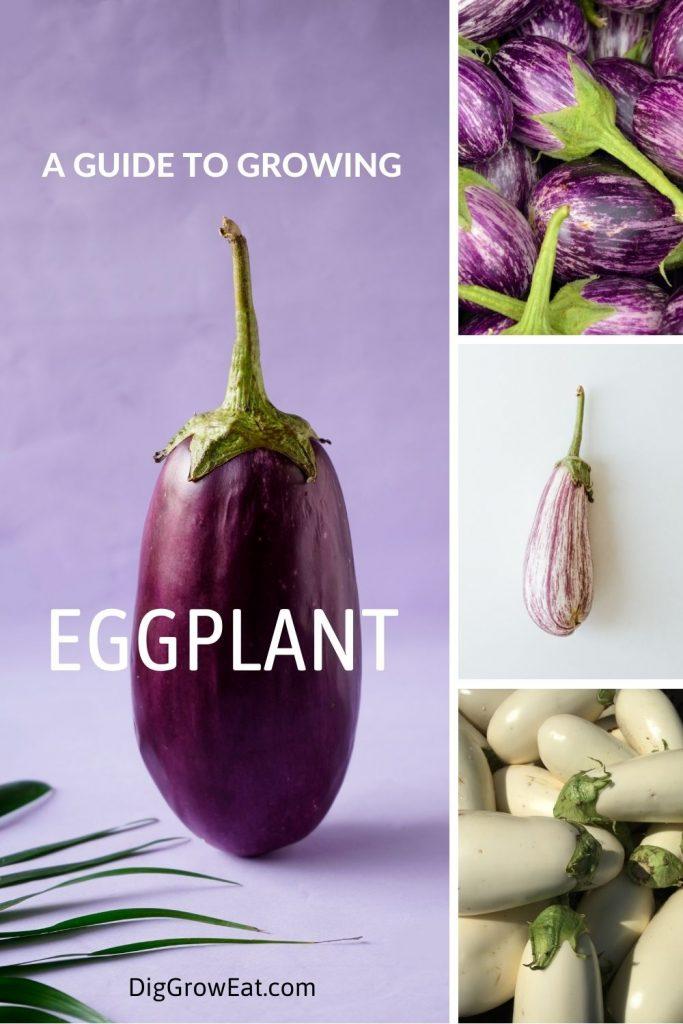 How to grow eggplant - purple, purple & white and white eggplant varieties.