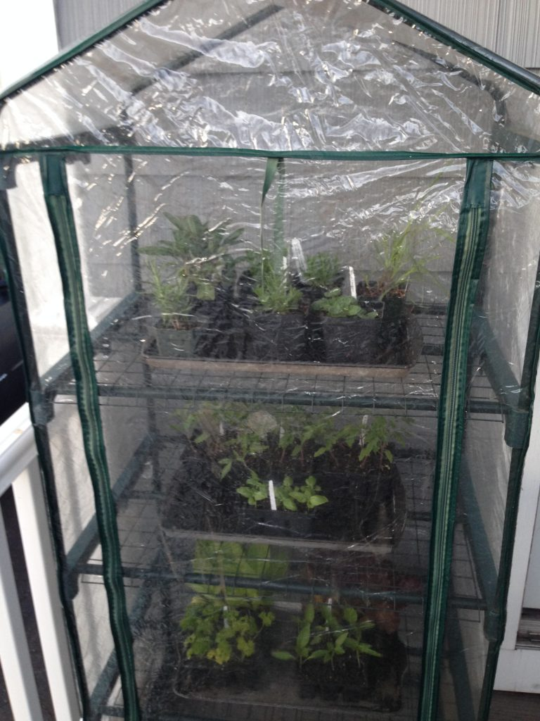 Mini greenhouse used to harden off seedlings and store plants purchased from the garden center.