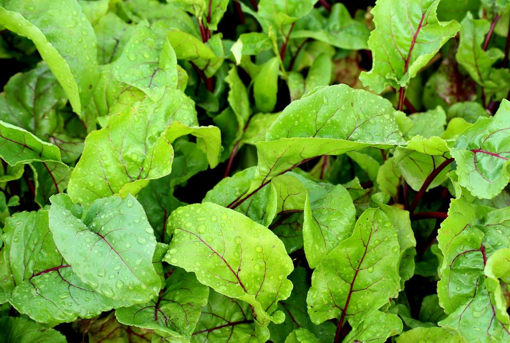 How to grow beets - young beet greens