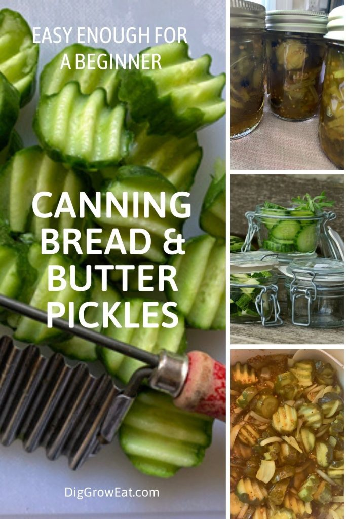 How to make bread & butter pickles - easy enough for a beginner - raw pickle chips; full jars of bread & butter pickles; and pickle chips in the vinegar processing bath