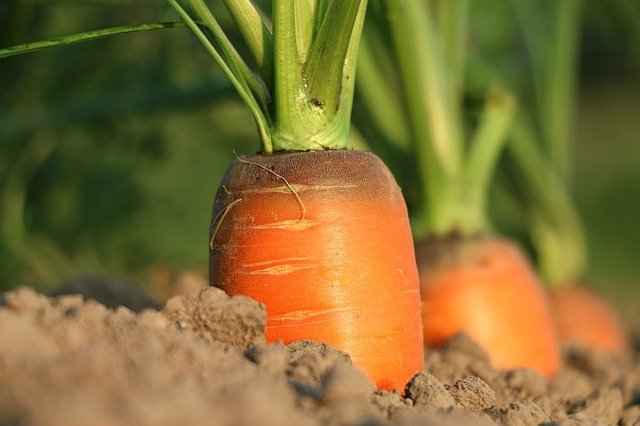 A carrot growing in the garden - how to grow carrots