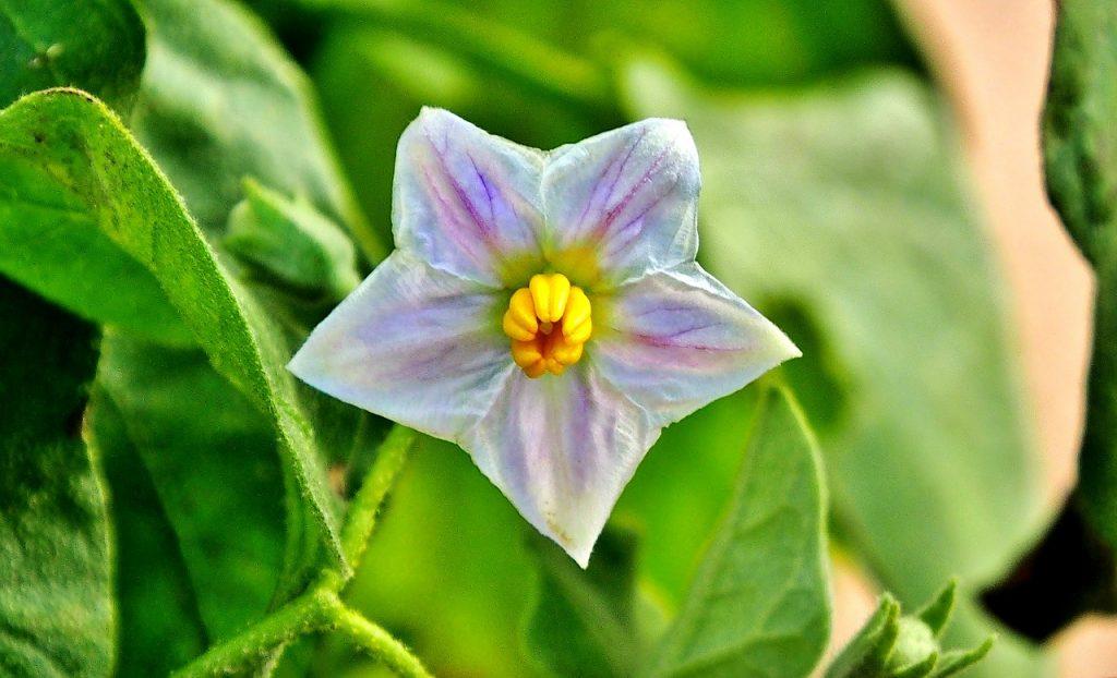 How to grow eggplant - eggplant flower