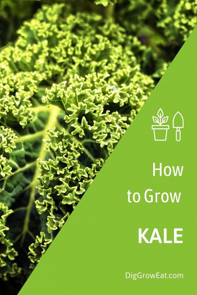 How to grow kale - a kale leaf