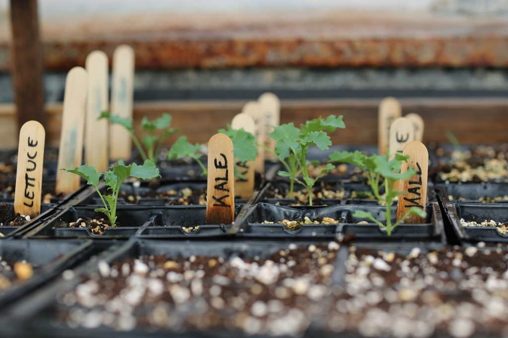 How to grow kale - kale seedlings